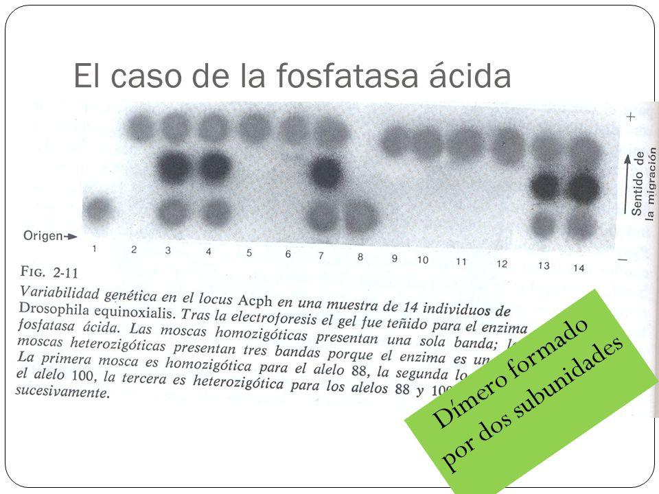 El caso de la fosfatasa ácida Dímero formado por dos subunidades