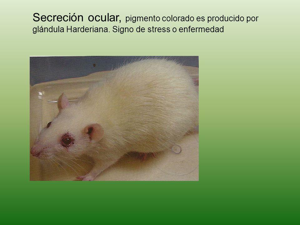 Secreción ocular, pigmento colorado es producido por glándula Harderiana. Signo de stress o enfermedad
