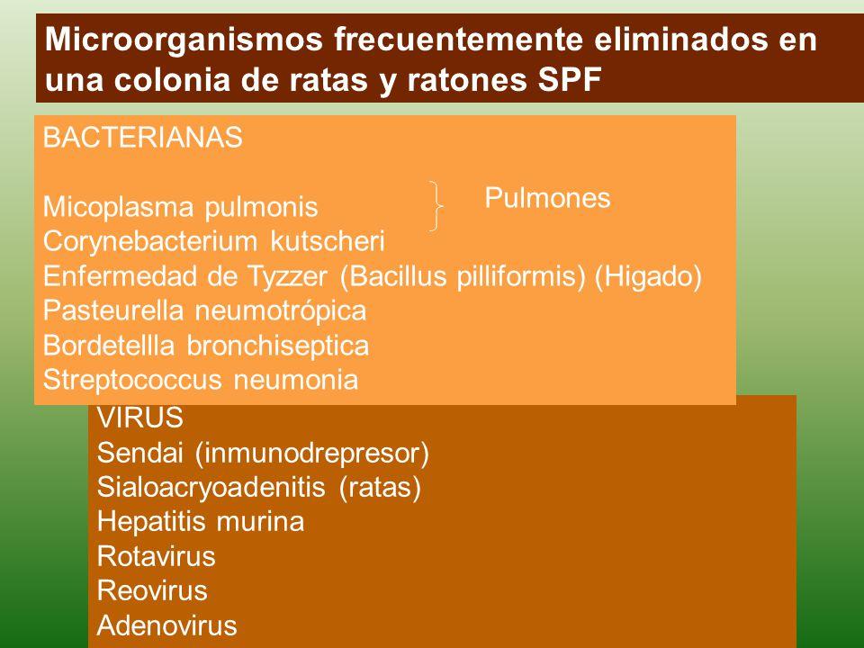 VIRUS Sendai (inmunodrepresor) Sialoacryoadenitis (ratas) Hepatitis murina Rotavirus Reovirus Adenovirus BACTERIANAS Micoplasma pulmonis Corynebacterium kutscheri Enfermedad de Tyzzer (Bacillus pilliformis) (Higado) Pasteurella neumotrópica Bordetellla bronchiseptica Streptococcus neumonia Pulmones Microorganismos frecuentemente eliminados en una colonia de ratas y ratones SPF