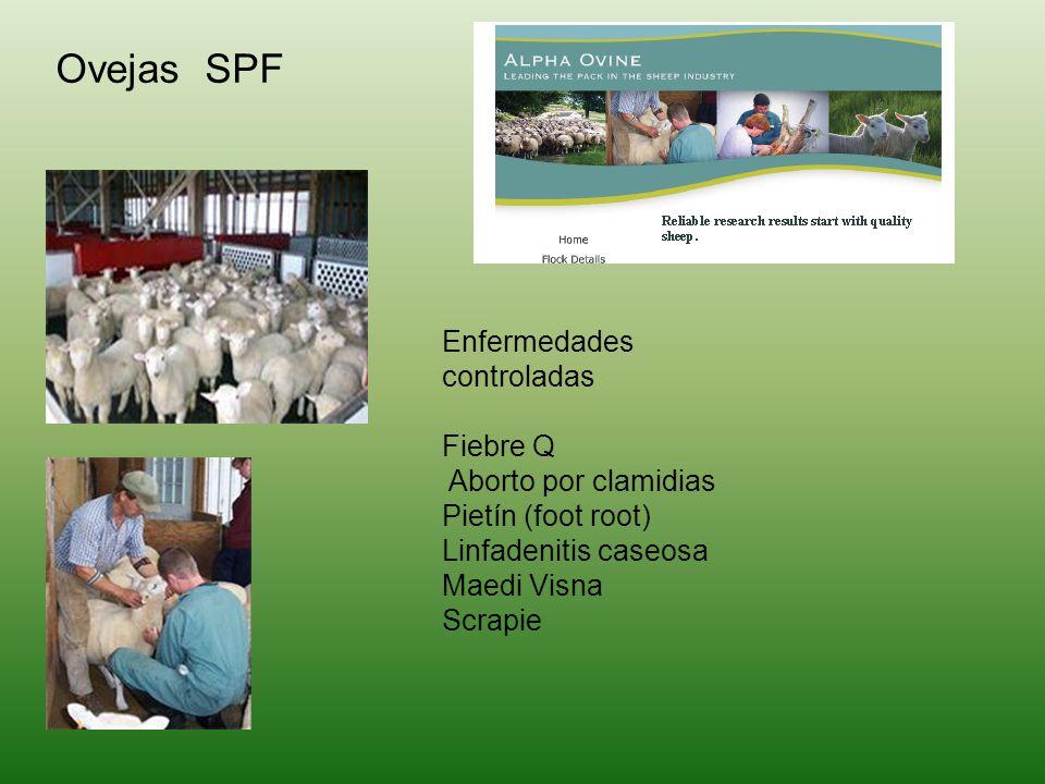 Ovejas SPF Enfermedades controladas Fiebre Q Aborto por clamidias Pietín (foot root) Linfadenitis caseosa Maedi Visna Scrapie