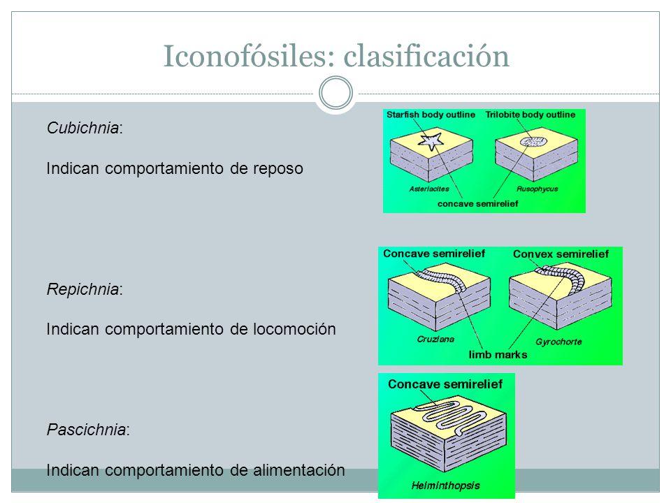Iconofósiles: clasificación Cubichnia: Indican comportamiento de reposo Repichnia: Indican comportamiento de locomoción Pascichnia: Indican comportamiento de alimentación