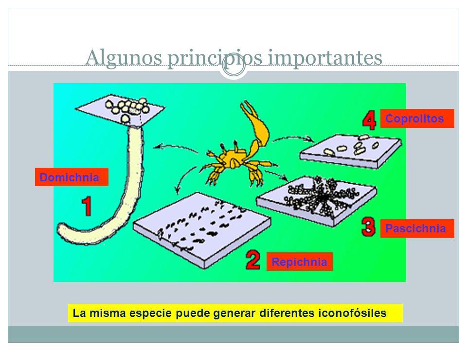 Algunos principios importantes La misma especie puede generar diferentes iconofósiles Repichnia Domichnia Pascichnia Coprolitos
