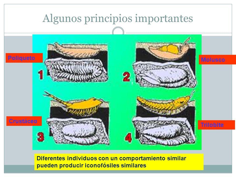 Algunos principios importantes Diferentes individuos con un comportamiento similar pueden producir iconofósiles similares Crustáceo Poliqueto Trilobite Molusco