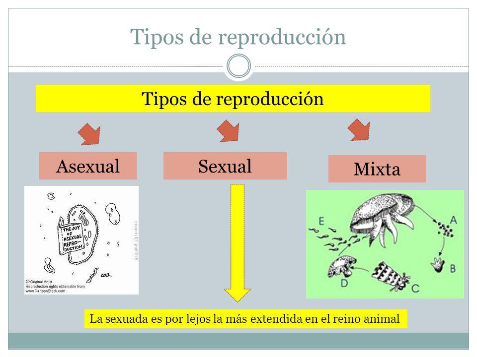 Tipos de reproducción Sexual Mixta Asexual La sexuada es por lejos la más extendida en el reino animal Tipos de reproducción