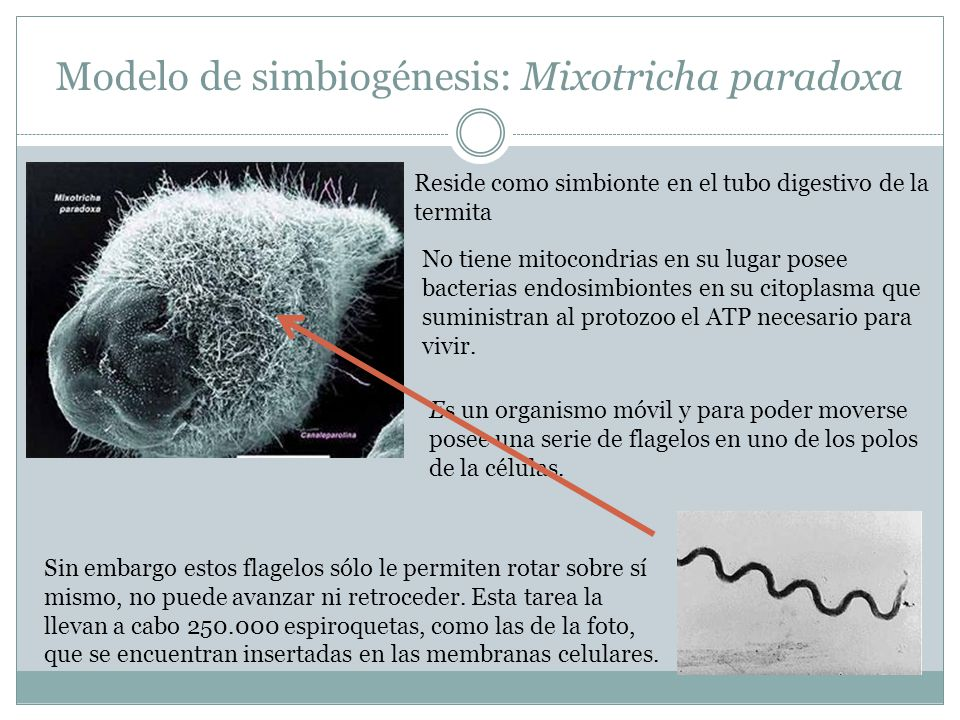 Modelo de simbiogénesis: Mixotricha paradoxa Reside como simbionte en el tubo digestivo de la termita No tiene mitocondrias en su lugar posee bacterias endosimbiontes en su citoplasma que suministran al protozoo el ATP necesario para vivir.