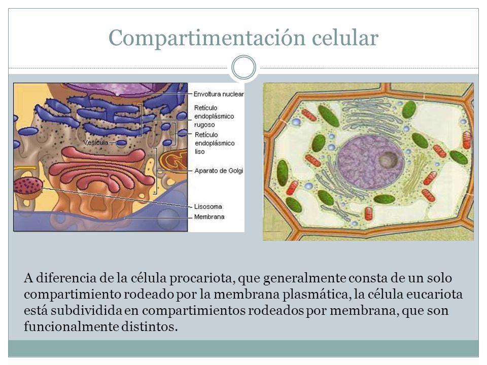 A diferencia de la célula procariota, que generalmente consta de un solo compartimiento rodeado por la membrana plasmática, la célula eucariota está subdividida en compartimientos rodeados por membrana, que son funcionalmente distintos.