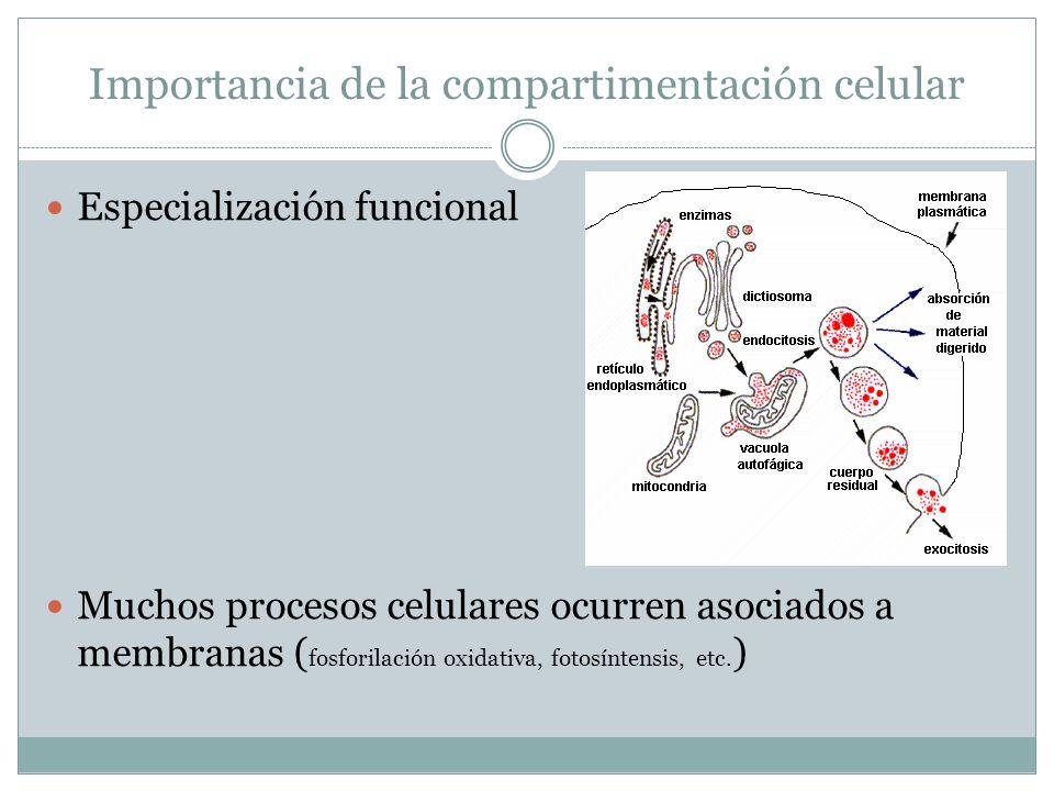Importancia de la compartimentación celular Especialización funcional Muchos procesos celulares ocurren asociados a membranas ( fosforilación oxidativ