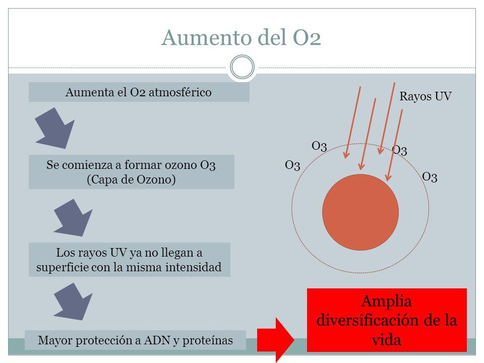 Aumento del O2 Aumenta el O2 atmosférico Se comienza a formar ozono O3 (Capa de Ozono) O3 Rayos UV Los rayos UV ya no llegan a superficie con la misma intensidad Mayor protección a ADN y proteínas Amplia diversificación de la vida