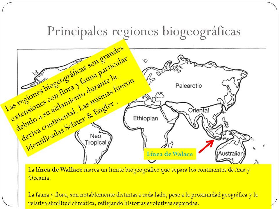Principales regiones biogeográficas Línea de Walace La línea de Wallace marca un límite biogeográfico que separa los continentes de Asia y Oceanía. La