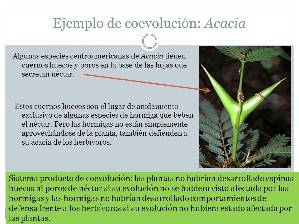 Ejemplo de coevolución: Acacia Algunas especies centroamericanas de Acacia tienen cuernos huecos y poros en la base de las hojas que secretan néctar.