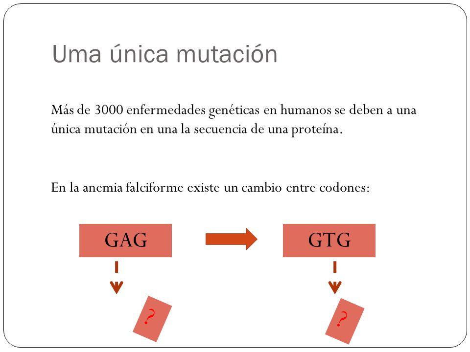 Uma única mutación Más de 3000 enfermedades genéticas en humanos se deben a una única mutación en una la secuencia de una proteína.