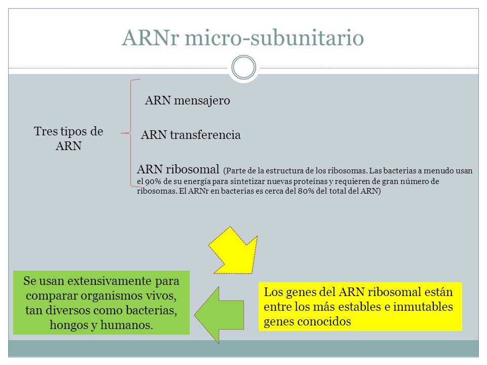ARNr micro-subunitario Tres tipos de ARN ARN ribosomal (Parte de la estructura de los ribosomas. Las bacterias a menudo usan el 90% de su energía para