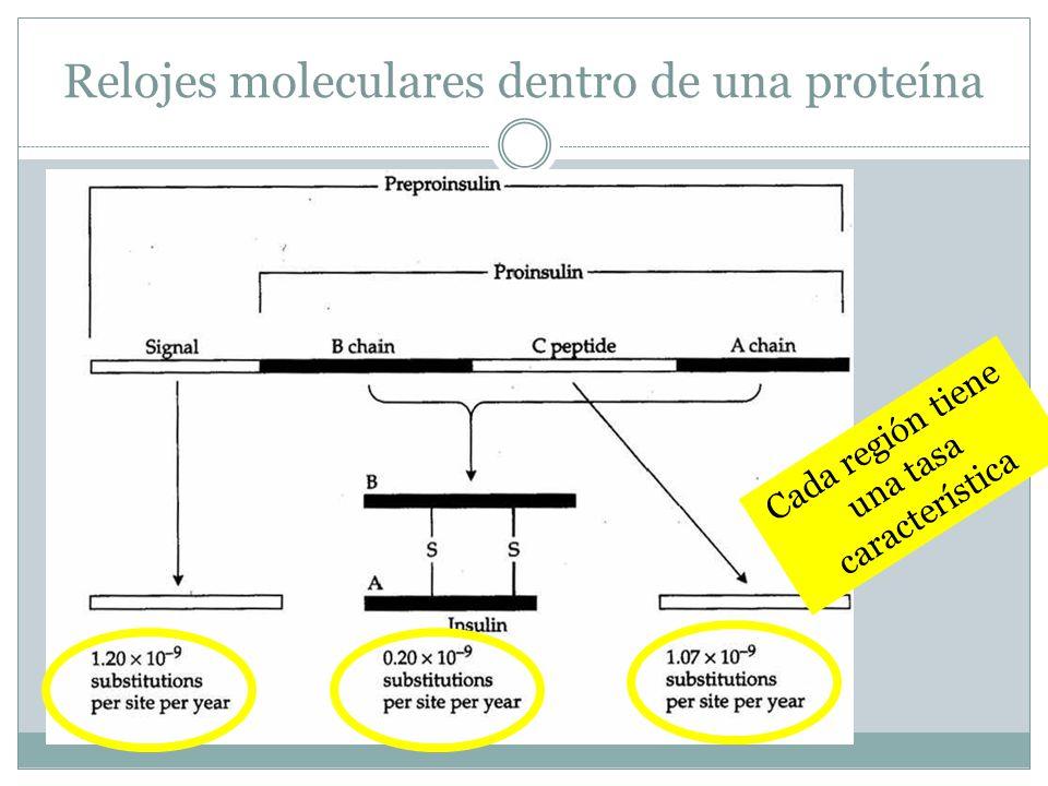 Relojes moleculares dentro de una proteína Cada región tiene una tasa característica