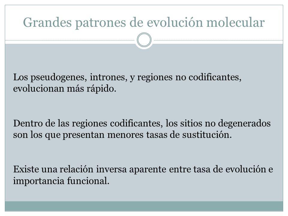 Grandes patrones de evolución molecular Los pseudogenes, intrones, y regiones no codificantes, evolucionan más rápido. Dentro de las regiones codifica