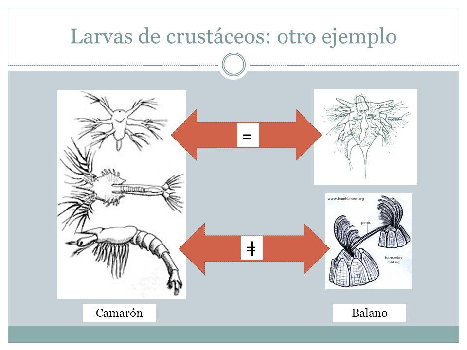 Larvas de crustáceos: otro ejemplo = = BalanoCamarón
