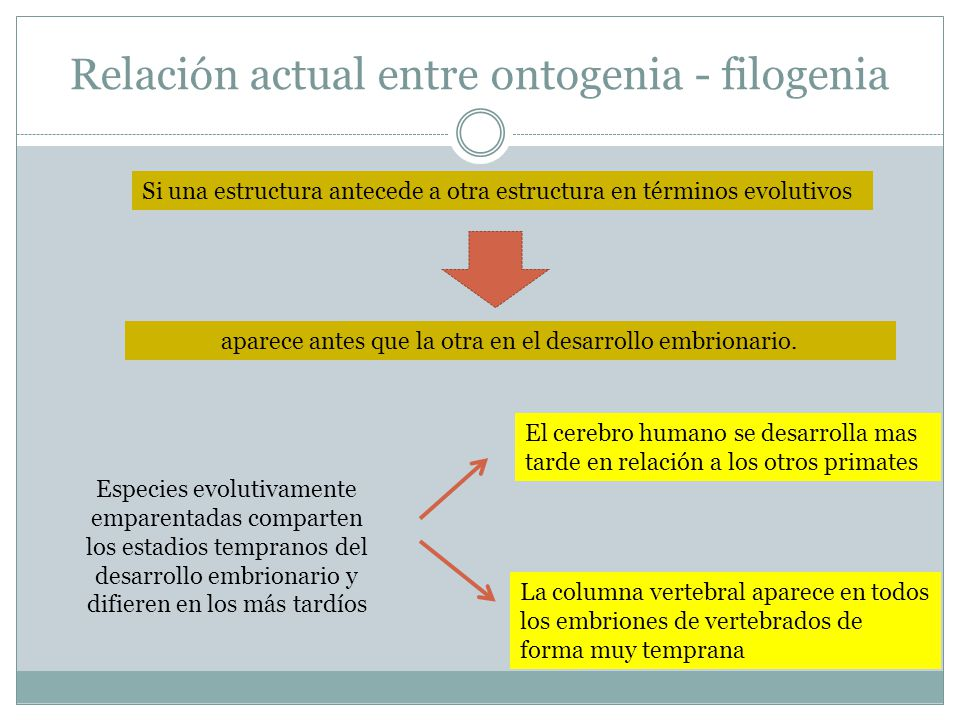 Relación actual entre ontogenia y filogenia Si una estructura desaparece en una secuencia evolutiva Otra estructura aparece durante el estado embrionario y desaparece o es modificada en un estado embrionario más tardío Patas y pelos en las ballenas Cola en humanos retrocede para formar el coxis Ejemplos: