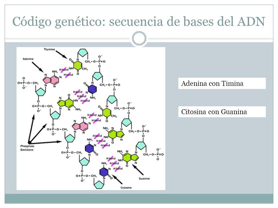 Código genético: secuencia de bases del ADN Adenina con Timina Citosina con Guanina