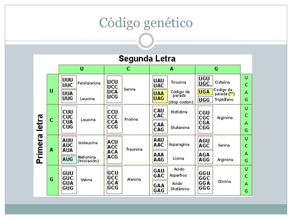 Características del código genético Código genético Universal (Salvo excepciones es único para todas las especies) No solapado No puntuado (Lectura continua) Degenerado (Varios codones transcriben para un AA) No ambiguo (Un codón únicamente transcribe para un AA)