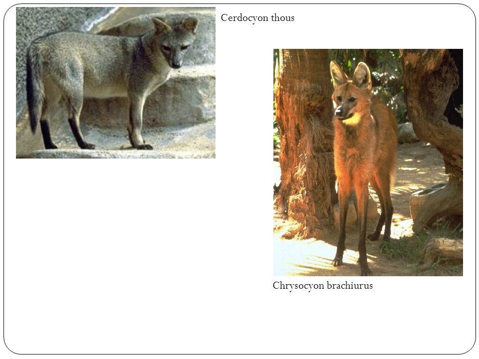 Cerdocyon thous Chrysocyon brachiurus