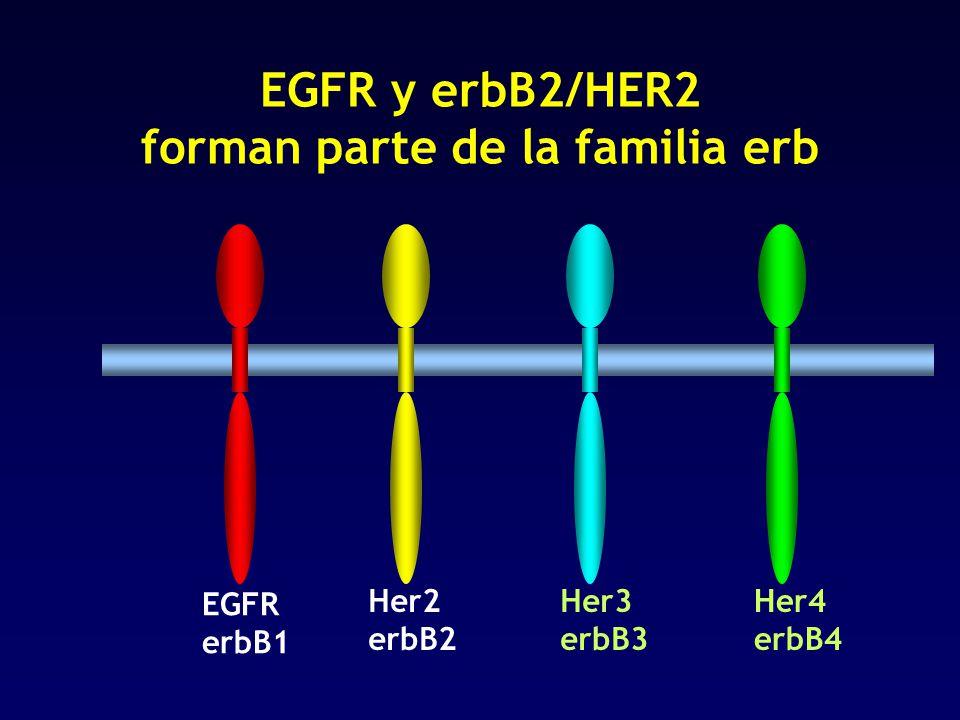 Her4 erbB4 Her3 erbB3 Her2 erbB2 EGFR y erbB2/HER2 forman parte de la familia erb EGFR erbB1