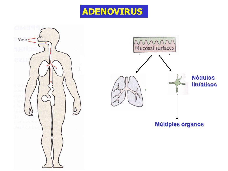 ADENOVIRUS Múltiples órganos Nódulos linfáticos