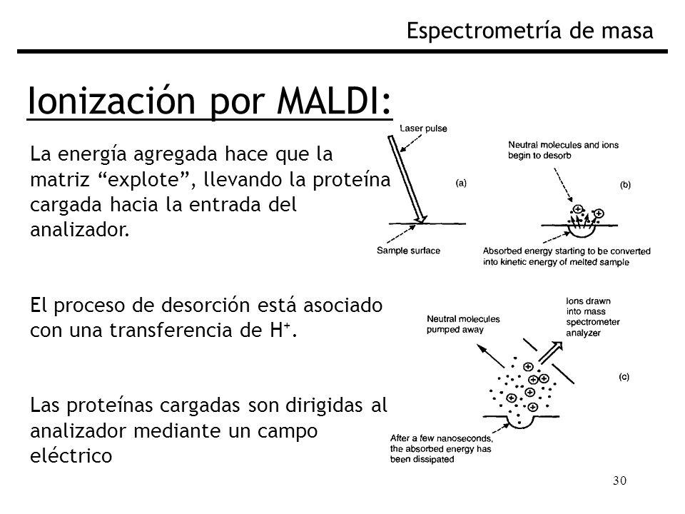 30 Ionización por MALDI: Espectrometría de masa La energía agregada hace que la matriz explote, llevando la proteína cargada hacia la entrada del anal