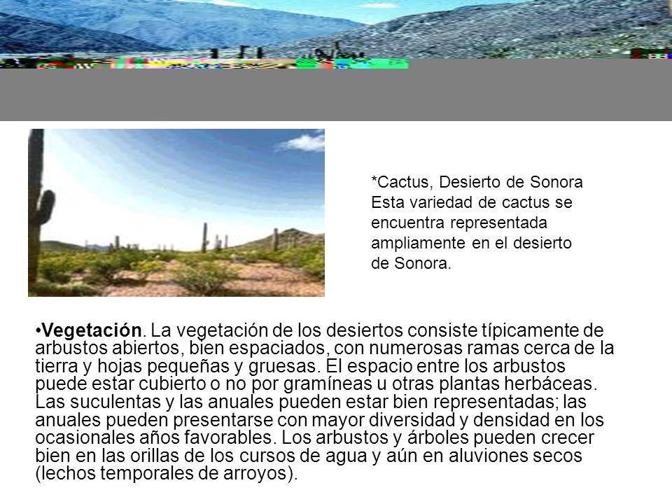 *Cactus, Desierto de Sonora Esta variedad de cactus se encuentra representada ampliamente en el desierto de Sonora.