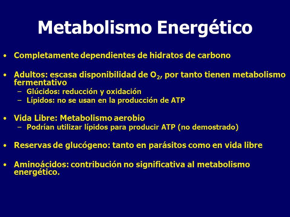Metabolismo Energético Completamente dependientes de hidratos de carbono Adultos: escasa disponibilidad de O 2, por tanto tienen metabolismo fermentativo –Glúcidos: reducción y oxidación –Lípidos: no se usan en la producción de ATP Vida Libre: Metabolismo aerobio –Podrían utilizar lípidos para producir ATP (no demostrado) Reservas de glucógeno: tanto en parásitos como en vida libre Aminoácidos: contribución no significativa al metabolismo energético.