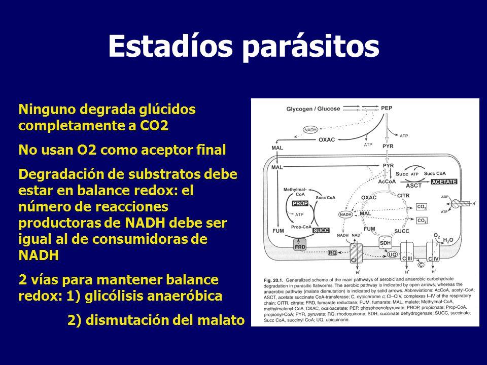 Estadíos parásitos Ninguno degrada glúcidos completamente a CO2 No usan O2 como aceptor final Degradación de substratos debe estar en balance redox: el número de reacciones productoras de NADH debe ser igual al de consumidoras de NADH 2 vías para mantener balance redox: 1) glicólisis anaeróbica 2) dismutación del malato