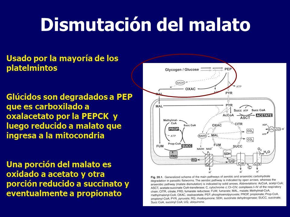 Dismutación del malato Usado por la mayoría de los platelmintos Glúcidos son degradados a PEP que es carboxilado a oxalacetato por la PEPCK y luego reducido a malato que ingresa a la mitocondria Una porción del malato es oxidado a acetato y otra porción reducido a succinato y eventualmente a propionato