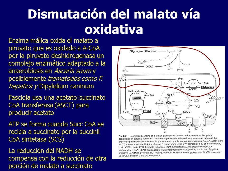 Dismutación del malato vía oxidativa Enzima málica oxida el malato a piruvato que es oxidado a A-CoA por la piruvato deshidrogenasa un complejo enzimático adaptado a la anaerobiosis en Ascaris suum y posiblemente trematodos como F.