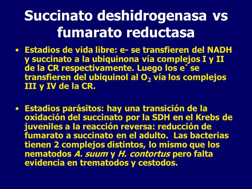 Succinato deshidrogenasa vs fumarato reductasa Estadios de vida libre: e- se transfieren del NADH y succinato a la ubiquinona vía complejos I y II de la CR respectivamente.