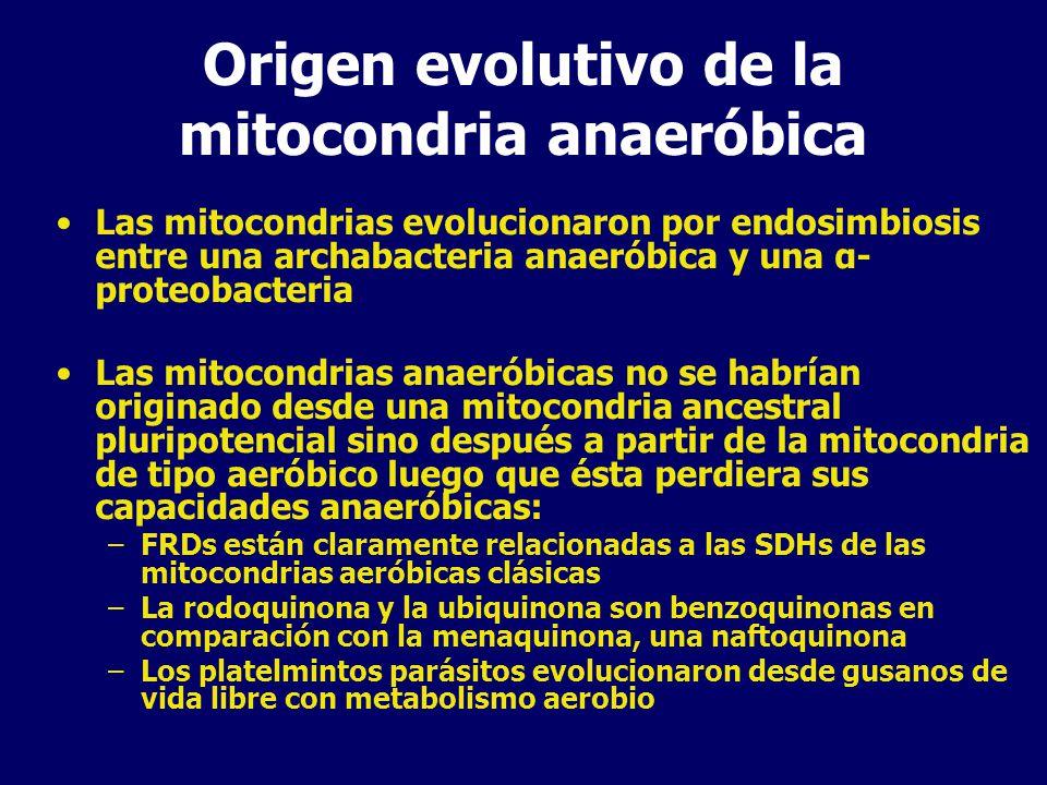 Origen evolutivo de la mitocondria anaeróbica Las mitocondrias evolucionaron por endosimbiosis entre una archabacteria anaeróbica y una α- proteobacteria Las mitocondrias anaeróbicas no se habrían originado desde una mitocondria ancestral pluripotencial sino después a partir de la mitocondria de tipo aeróbico luego que ésta perdiera sus capacidades anaeróbicas: –FRDs están claramente relacionadas a las SDHs de las mitocondrias aeróbicas clásicas –La rodoquinona y la ubiquinona son benzoquinonas en comparación con la menaquinona, una naftoquinona –Los platelmintos parásitos evolucionaron desde gusanos de vida libre con metabolismo aerobio