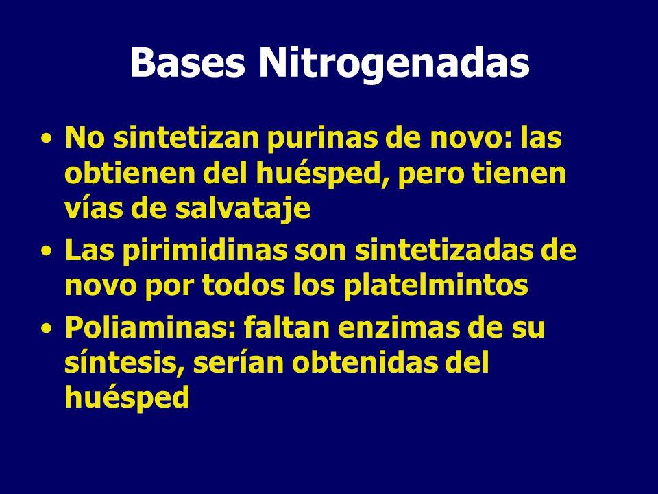 Bases Nitrogenadas No sintetizan purinas de novo: las obtienen del huésped, pero tienen vías de salvataje Las pirimidinas son sintetizadas de novo por todos los platelmintos Poliaminas: faltan enzimas de su síntesis, serían obtenidas del huésped