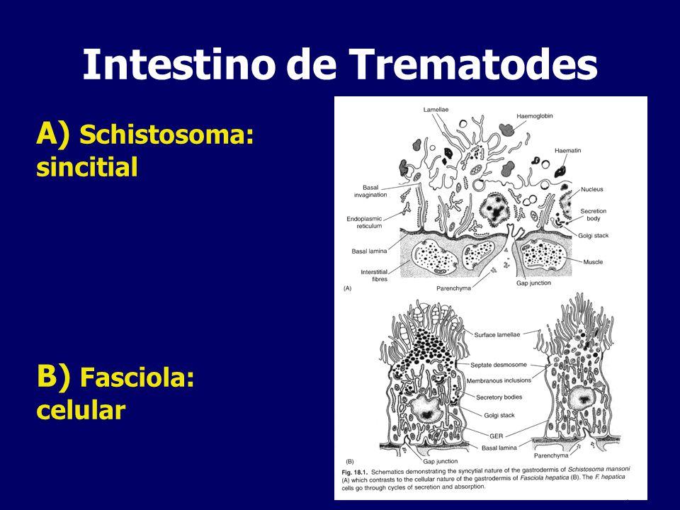Intestino de Trematodes A) Schistosoma: sincitial B) Fasciola: celular