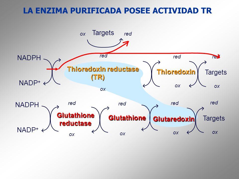 LA ENZIMA PURIFICADA POSEE ACTIVIDAD TR NADPH NADP + Glutathionereductase Glutaredoxin Targets red ox Glutathione red ox NADPH NADP + Thioredoxin redu