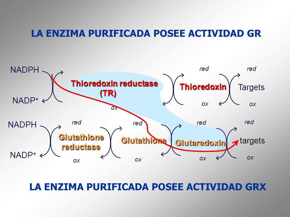 LA ENZIMA PURIFICADA POSEE ACTIVIDAD GR NADPH NADP + Glutathionereductase Glutaredoxin red ox Glutathione red ox NADPH NADP + Thioredoxin reductase (T
