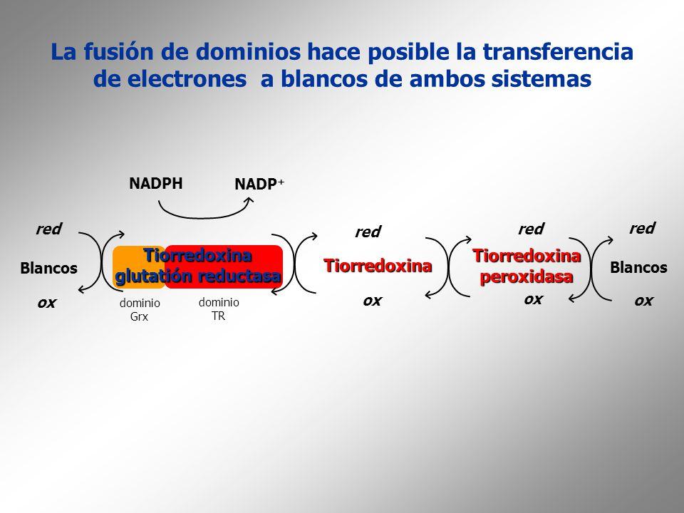 La fusión de dominios hace posible la transferencia de electrones a blancos de ambos sistemas Tiorredoxina glutatión reductasa Tiorredoxina red ox NAD