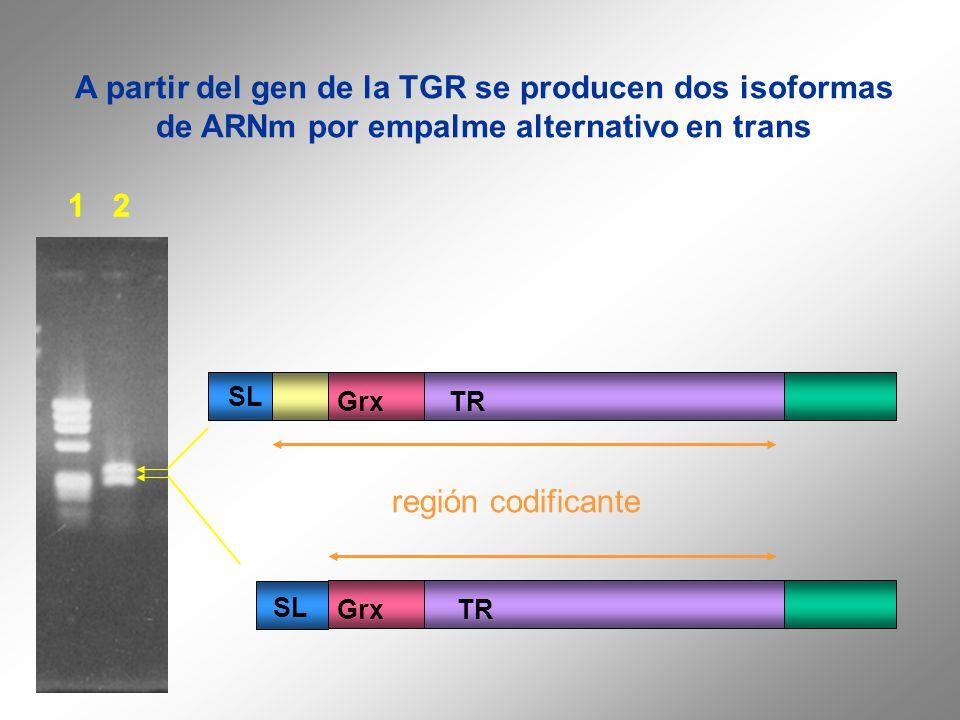 A partir del gen de la TGR se producen dos isoformas de ARNm por empalme alternativo en trans 1 2 TRGrx SL GrxTR región codificante