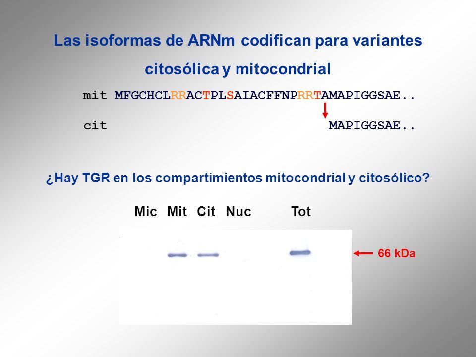mit MFGCHCLRRACTPLSAIACFFNPRRTAMAPIGGSAE.. cit MAPIGGSAE.. Las isoformas de ARNm codifican para variantes citosólica y mitocondrial ¿Hay TGR en los co