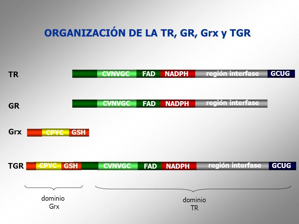 ORGANIZACIÓN DE LA TR, GR, Grx y TGR dominio Grx dominio TR CVNVGCFADNADPH región interfase GCUG Grx CPYC GSH GR CVNVGC FADNADPH región interfase TGR