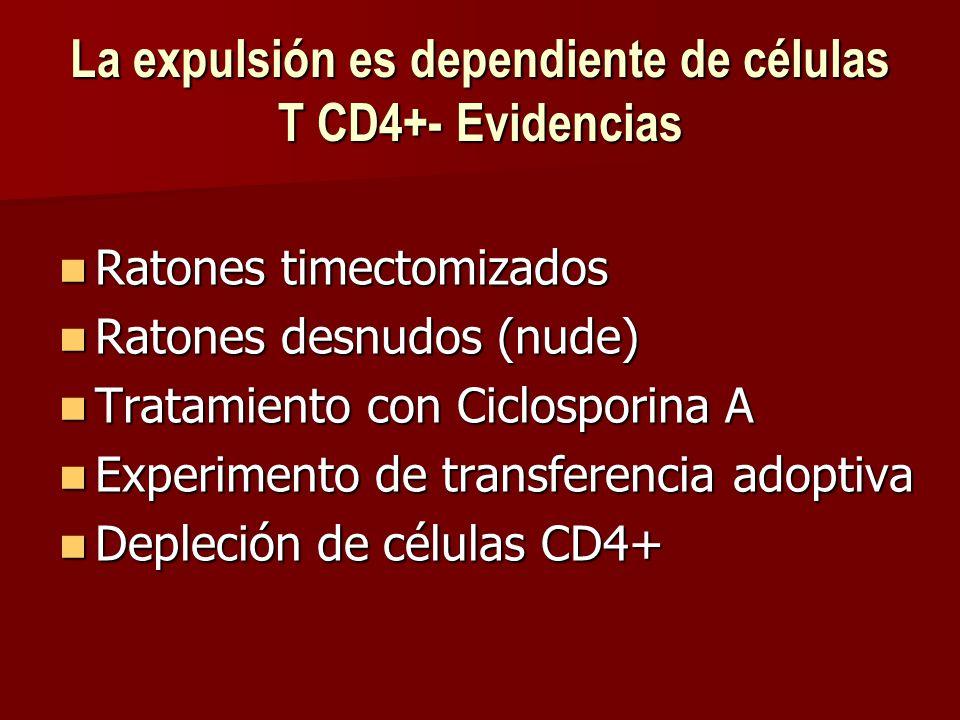 La expulsión es dependiente de células T CD4+- Evidencias Ratones timectomizados Ratones timectomizados Ratones desnudos (nude) Ratones desnudos (nude) Tratamiento con Ciclosporina A Tratamiento con Ciclosporina A Experimento de transferencia adoptiva Experimento de transferencia adoptiva Depleción de células CD4+ Depleción de células CD4+