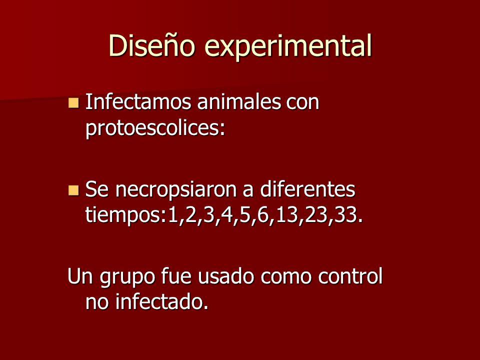 Diseño experimental Infectamos animales con protoescolices: Infectamos animales con protoescolices: Se necropsiaron a diferentes tiempos:1,2,3,4,5,6,13,23,33.