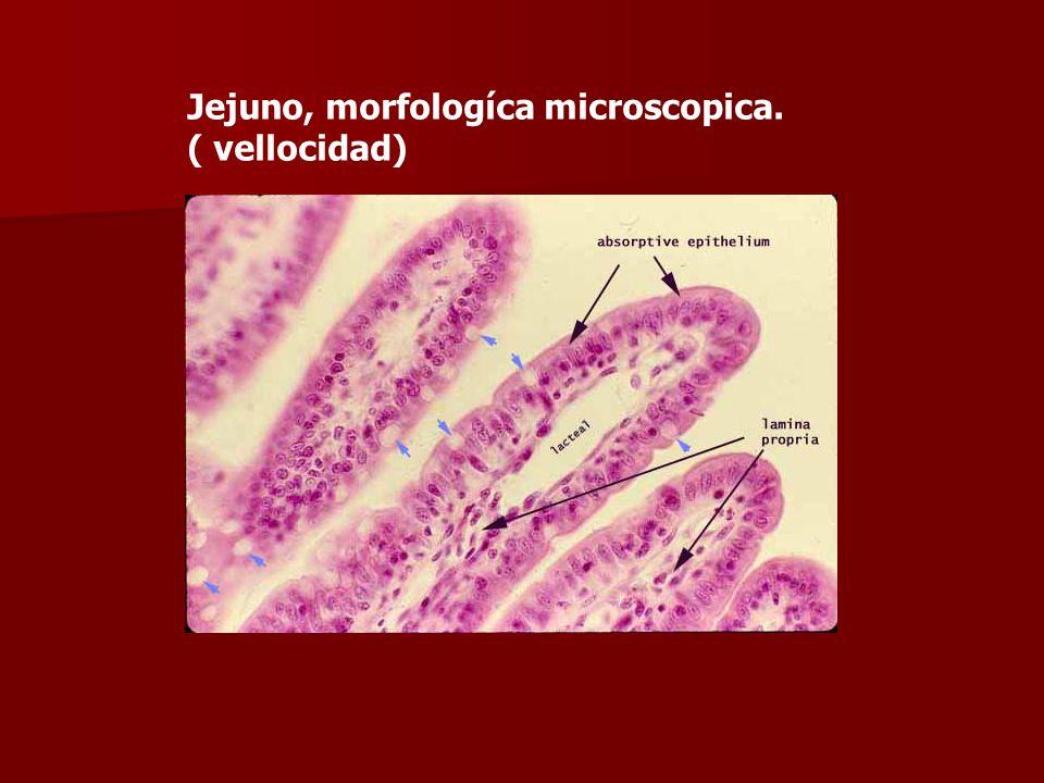 Jejuno, morfologíca microscopica. ( vellocidad)