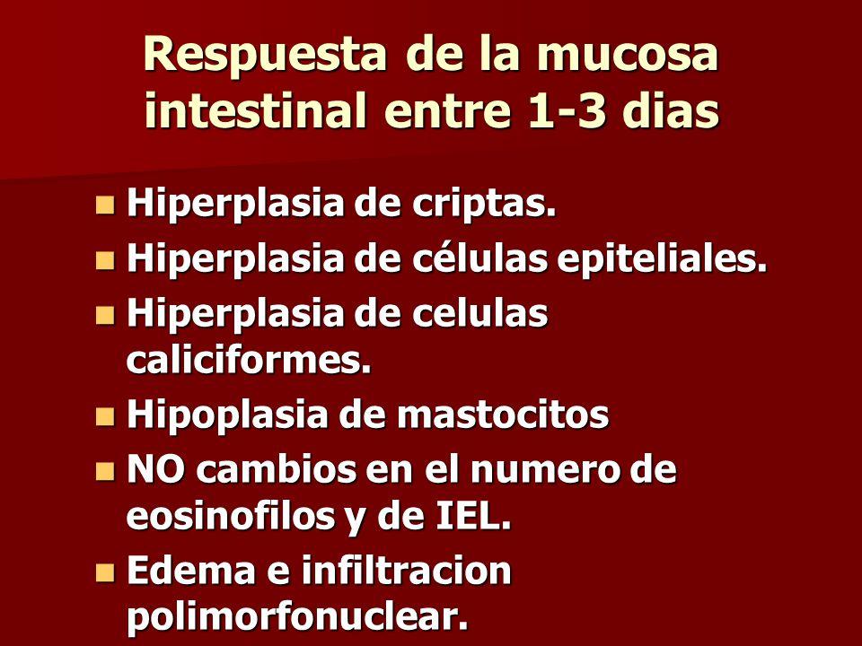 Respuesta de la mucosa intestinal entre 1-3 dias Hiperplasia de criptas.
