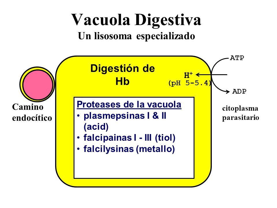 Vacuola Digestiva Un lisosoma especializado ATP ADP H+H+ (pH 5-5.4) Proteases de la vacuola plasmepsinas I & II (acid) falcipainas I - III (tiol) falcilysinas (metallo) Digestión de Hb citoplasma parasitario Camino endocítico