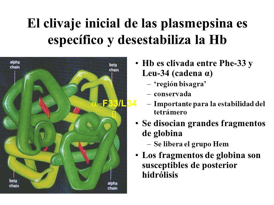 El clivaje inicial de las plasmepsina es específico y desestabiliza la Hb Hb es clivada entre Phe-33 y Leu-34 (cadena α) –región bisagra –conservada –Importante para la estabilidad del tetrámero Se disocian grandes fragmentos de globina –Se libera el grupo Hem Los fragmentos de globina son susceptibles de posterior hidrólisis F33/L34