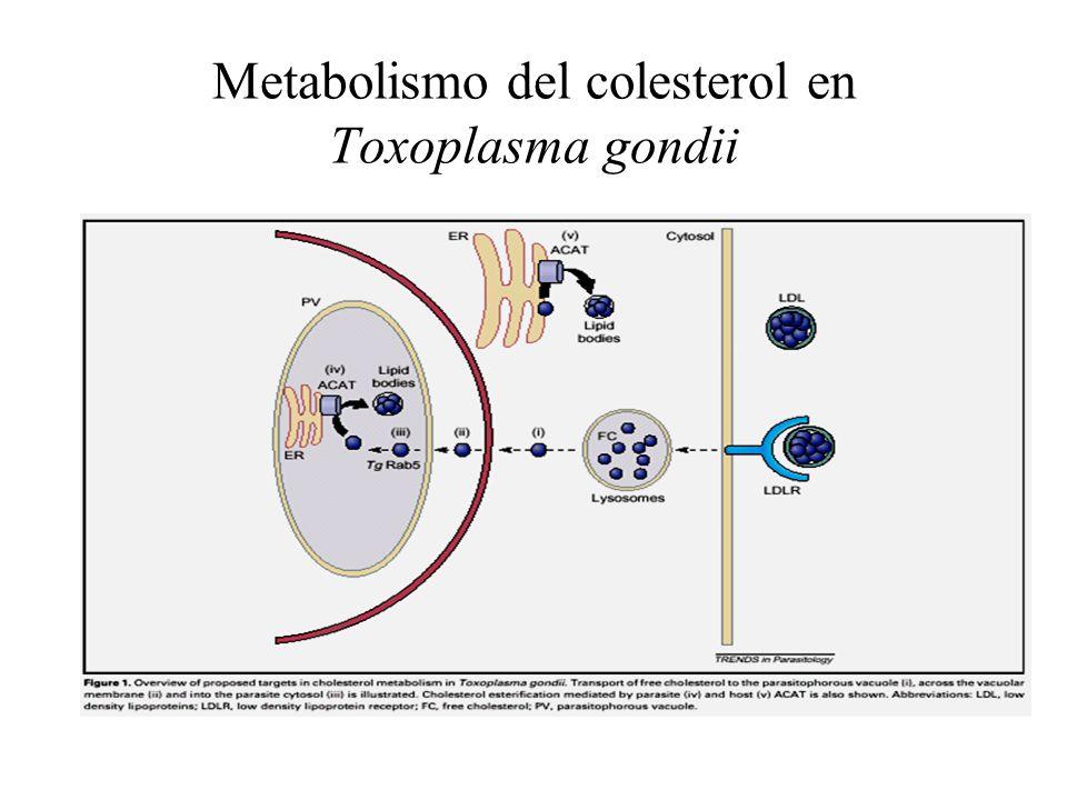 Metabolismo del colesterol en Toxoplasma gondii