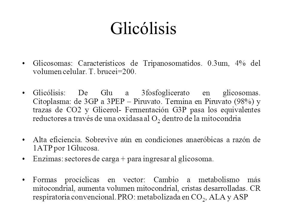Glicólisis Glicosomas: Característicos de Tripanosomatidos. 0.3um, 4% del volumen celular. T. brucei=200. Glicólisis: De Glu a 3fosfoglicerato en glic