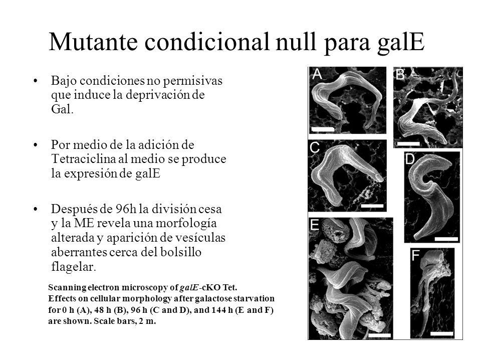 Mutante condicional null para galE Bajo condiciones no permisivas que induce la deprivación de Gal. Por medio de la adición de Tetraciclina al medio s